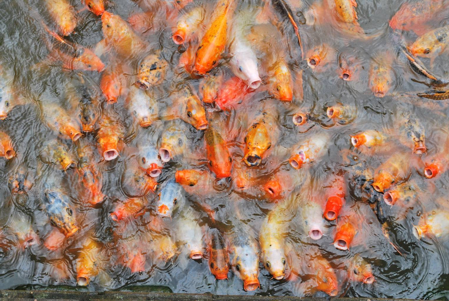 Fishes in Hue